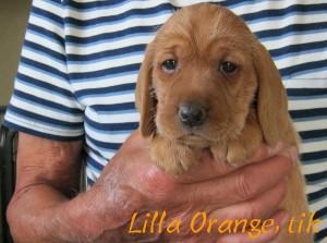 Lilla Orange, tik