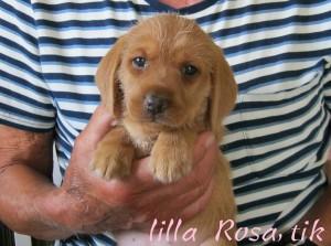 Lilla Rosa